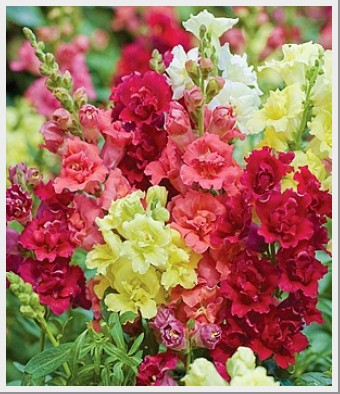 Snapdragon Madame Butterfly