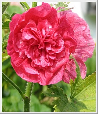 Hollyhock Chaters Double