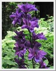 Black Knight Delphinium