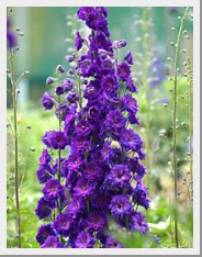 Delphinium Pagan Purple
