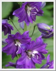 Delphinium Pacific Giant King Arthur