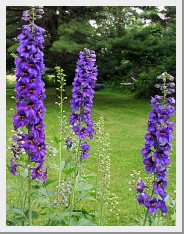 Delphinium Magic Fountain Dark Blue