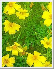 Marigold Lemon Gem