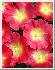 Hollyhock Halo Red