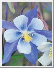 Aquilegia Heavenly Blue