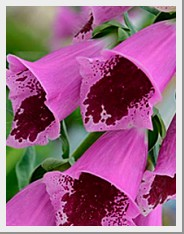 Digitalis Sugar Plum