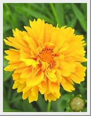 Coreopsis Early Sunrise
