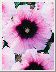 Hollyhock Halo Candy