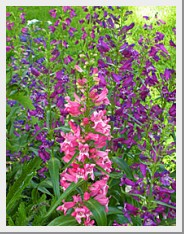 Graceful Gardens Penstemon Rondo