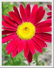 Pyrethrum Robinson Giant Crimson