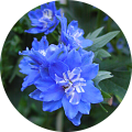 check out our huge selection of delphiniums